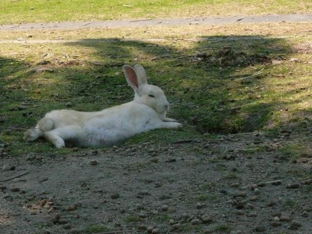 日陰でリラックスするウサギ